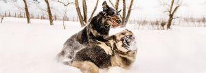 werwolf-hundemaulkorb